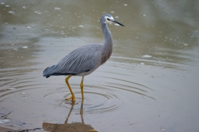 A White Faced Heron looking for a feed on the Murray.