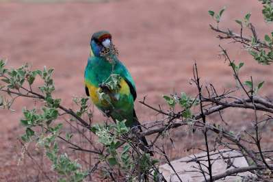 Ringneck parrot at Quorn CP.