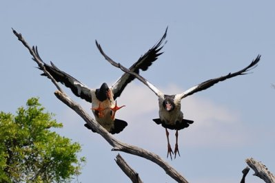 Magpie Geese in competition for a perch