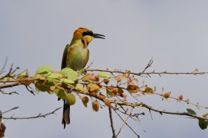 Caught sight of the Rainbow Bee Eater.