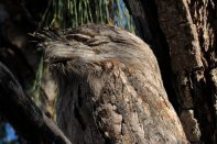 The Frogmouth didn't flinch as I got in closer for a shot.