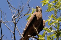 A Black Kite at the Gregory River.