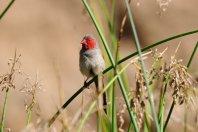 A Crimson Wren.