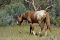 Well fed Brumbies run in two herds at Ross River Station.