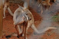 A Kangaroo farm is attached to the campground. This one has been having fun in the mud around the water trough!