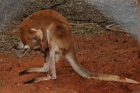 This Roo appears to be checking out the pouch