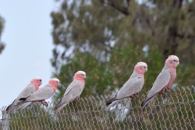 Galahs watch over the Kangaroos.....