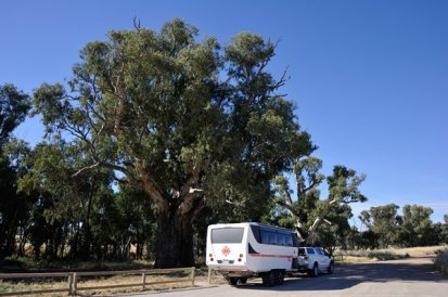 The massive Gum near Orroroo.