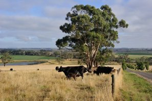 Cattle in the paddock with the next doors spuds in view in the background.