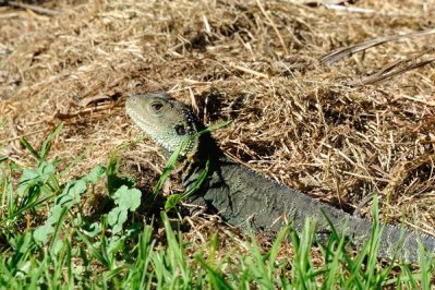 Several Water Monitor Lizards visited the camp beside the Snowy River