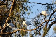 Large numbers of Spoonbills on this part of the Murray River.