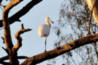 A one legged Spoonbill high in the tree.