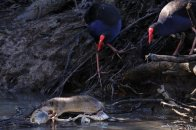 This Water Rat feasted on a dead fish while the Swamphens watched on.