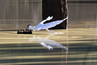 An Egret dives for a fish.