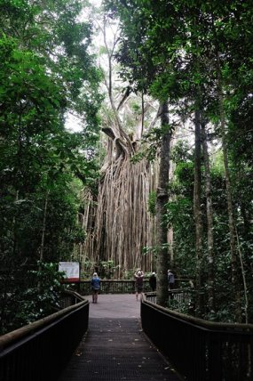 "The ""Curtain Fig Tree"" near Atherton."