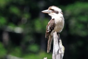 A Kooka at the Lake.
