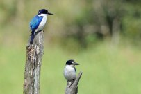 Kingfisher pair at Lake Tinaroo.