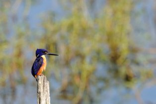 Azure Kingfisher.