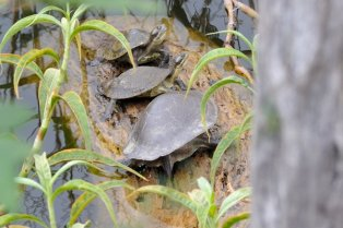 Turtles take a rest on a log.