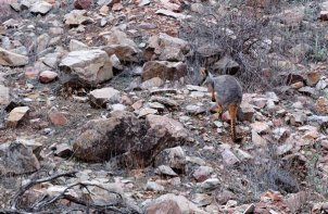 Yellow Footed Rock Wallabies can be seen in both Warren & Brachina Gorges.